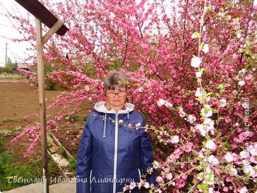 здравствуйте, жители Страны! хочу показать вам какое чудо именно сейчас цветет в пригороде Иркутска. среди моих хороших знакомых много творческих людей, одна из них-Тамара Хрисановна. у нее два хобби-это дача и вышивка крестом. 27 мая мы побывали у нее на даче,чтобы посмотреть как цветет сакура.цветение сакуры начинается прямо от начала ствола , это такая красота не передать словами. фото 7