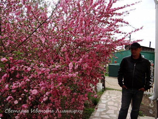 здравствуйте, жители Страны! хочу показать вам какое чудо именно сейчас цветет в пригороде Иркутска. среди моих хороших знакомых много творческих людей, одна из них-Тамара Хрисановна. у нее два хобби-это дача и вышивка крестом. 27 мая мы побывали у нее на даче,чтобы посмотреть как цветет сакура.цветение сакуры начинается прямо от начала ствола , это такая красота не передать словами. фото 8
