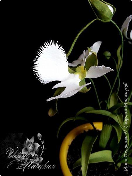 Веточка белой Орхидеи Фаленопсис - это то, с чего все начиналось...))) фото 13