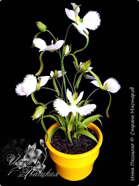 Веточка белой Орхидеи Фаленопсис - это то, с чего все начиналось...))) фото 12