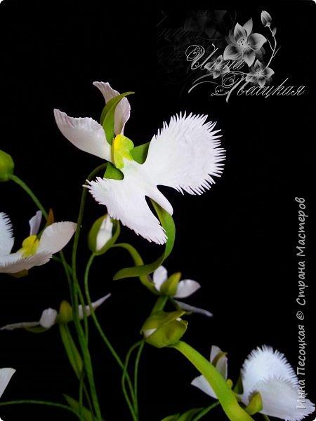 Веточка белой Орхидеи Фаленопсис - это то, с чего все начиналось...))) фото 14