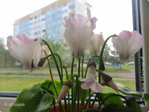 Добрый день, Страна! Наконец руки дошли  до сборки цветка.  Вот такой очередной цикламентик у меня получился. фото 4