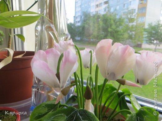 Добрый день, Страна! Наконец руки дошли  до сборки цветка.  Вот такой очередной цикламентик у меня получился. фото 7