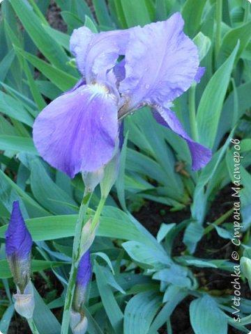 Столько изменений в саду и цветниках! Только успевай фотографировать!  Хочу показать, что успела запечатлеть в течении недели.  Прошло время бурного цветения луковичных и мелколуковичных первоцветов. Им на смену пришли другие цветы.  На переднем плане- цветет живучка. Не передался красивый сиреневый цвет. Цветы почему-то получились голубыми. За живучкой-кустик барбариса. Высота не больше 20 см. фото 42