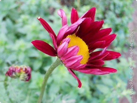 Столько изменений в саду и цветниках! Только успевай фотографировать!  Хочу показать, что успела запечатлеть в течении недели.  Прошло время бурного цветения луковичных и мелколуковичных первоцветов. Им на смену пришли другие цветы.  На переднем плане- цветет живучка. Не передался красивый сиреневый цвет. Цветы почему-то получились голубыми. За живучкой-кустик барбариса. Высота не больше 20 см. фото 35