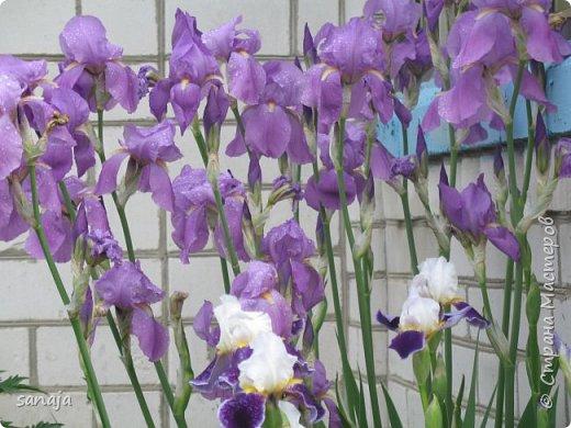 Да. вот такая она, весна 2016. Дожди-ураганы,  все цветы покрыты каплями дождя и уже достигли гигантских размеров.  фото 3