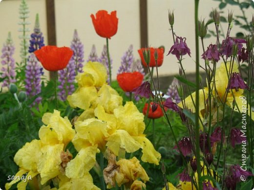 Да. вот такая она, весна 2016. Дожди-ураганы,  все цветы покрыты каплями дождя и уже достигли гигантских размеров.  фото 5