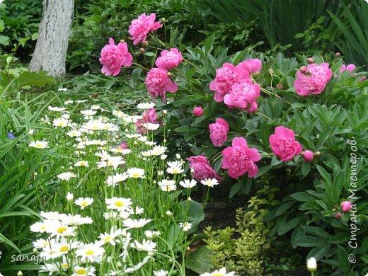 Да. вот такая она, весна 2016. Дожди-ураганы,  все цветы покрыты каплями дождя и уже достигли гигантских размеров.  фото 6