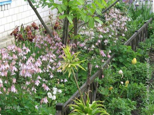 Да. вот такая она, весна 2016. Дожди-ураганы,  все цветы покрыты каплями дождя и уже достигли гигантских размеров.  фото 7
