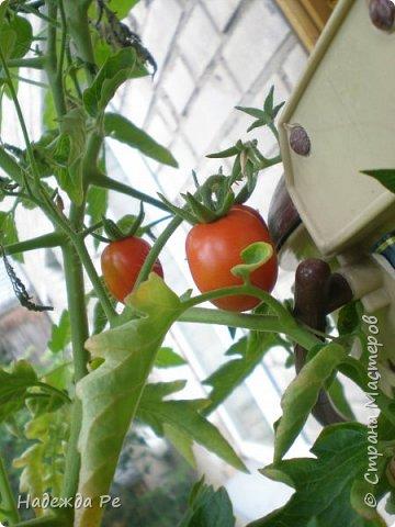 мой первый урожай на балконе фото 1
