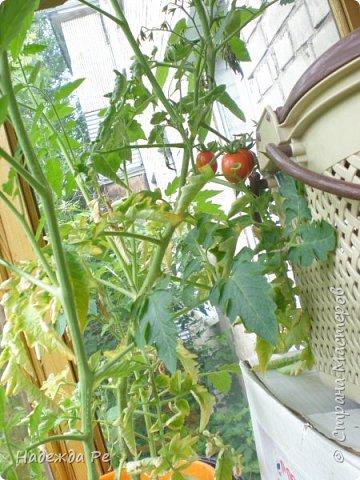 мой первый урожай на балконе фото 2
