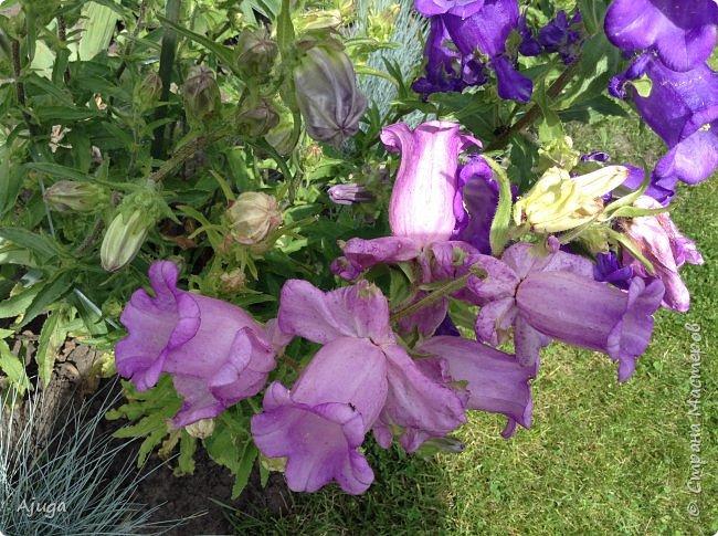 Начали цветение розы. фото 20