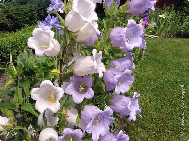 Начали цветение розы. фото 21