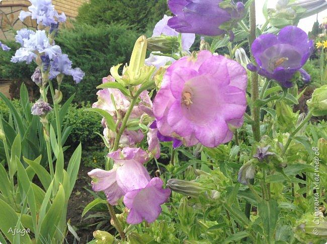 Начали цветение розы. фото 22