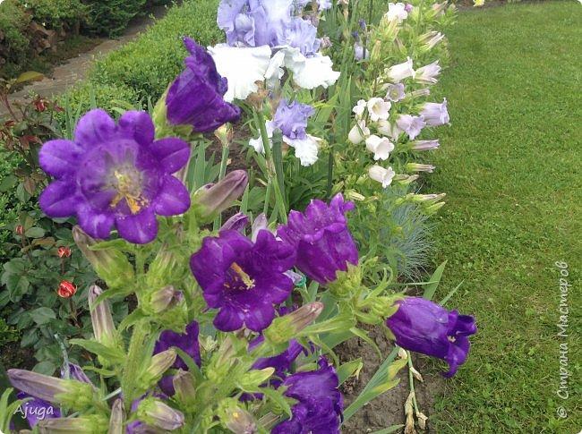 Начали цветение розы. фото 24