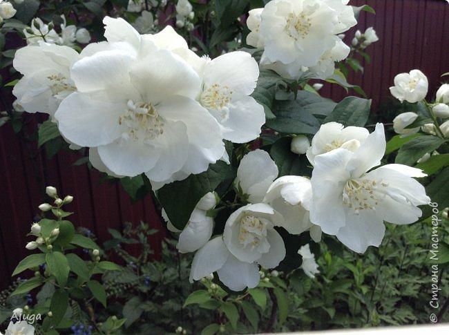 Начали цветение розы. фото 26