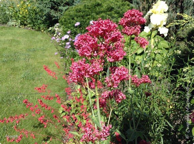 Начали цветение розы. фото 27