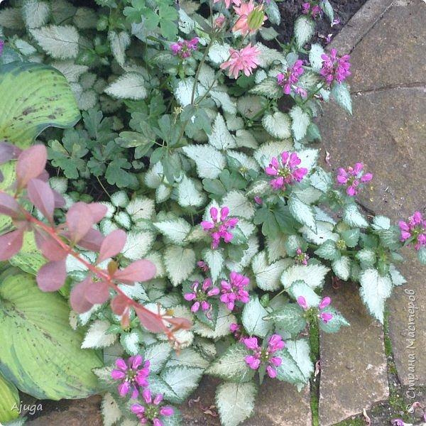 Начали цветение розы. фото 28