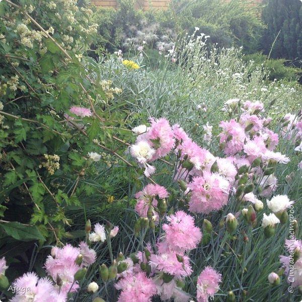 Начали цветение розы. фото 30