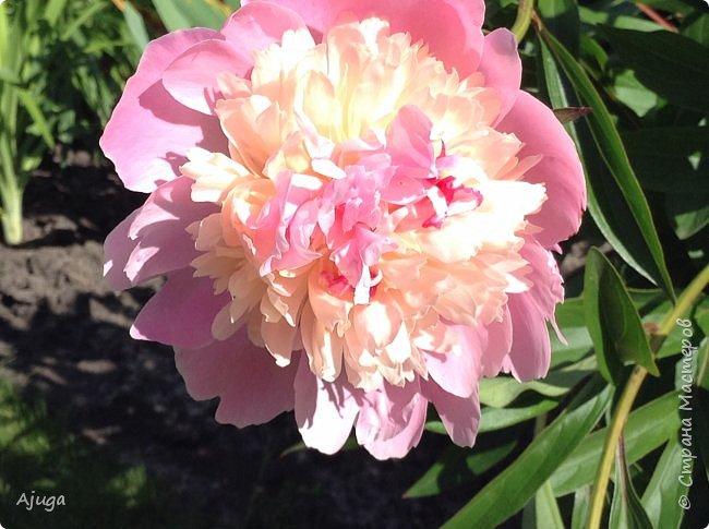 Начали цветение розы. фото 33