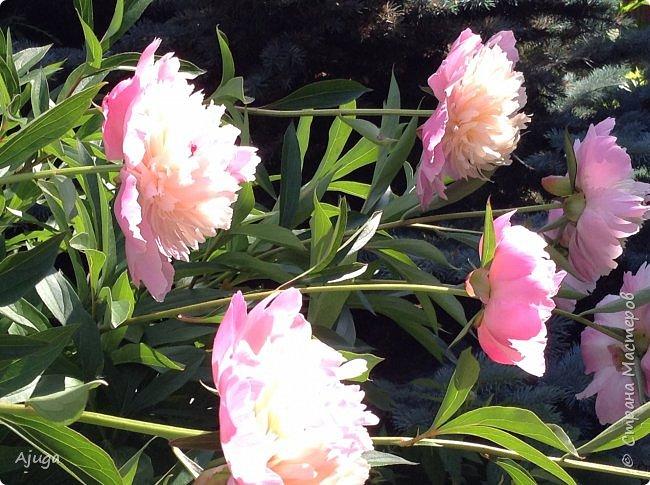 Начали цветение розы. фото 34