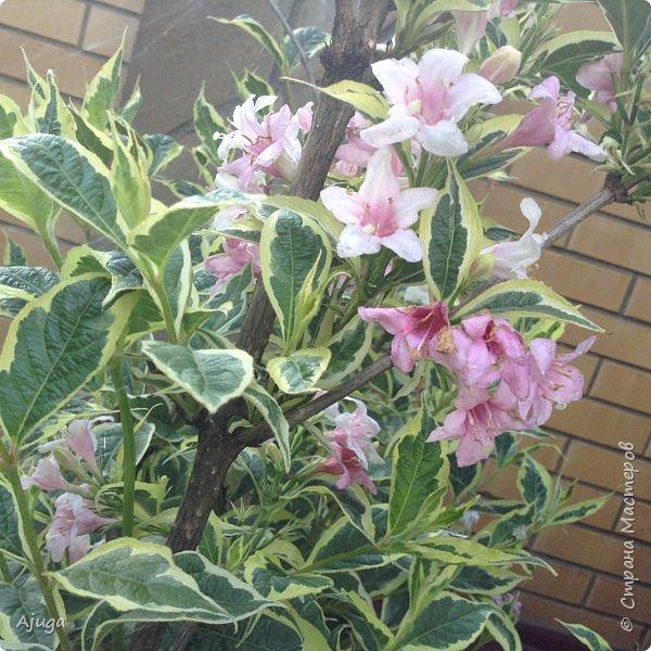 Начали цветение розы. фото 35