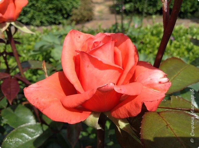 Начали цветение розы. фото 1