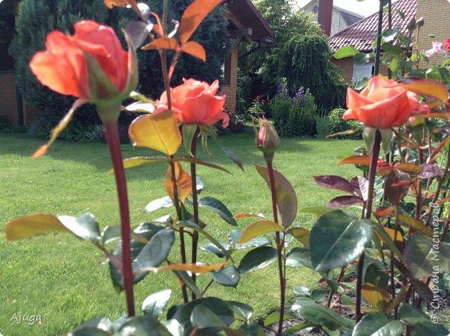 Начали цветение розы. фото 2