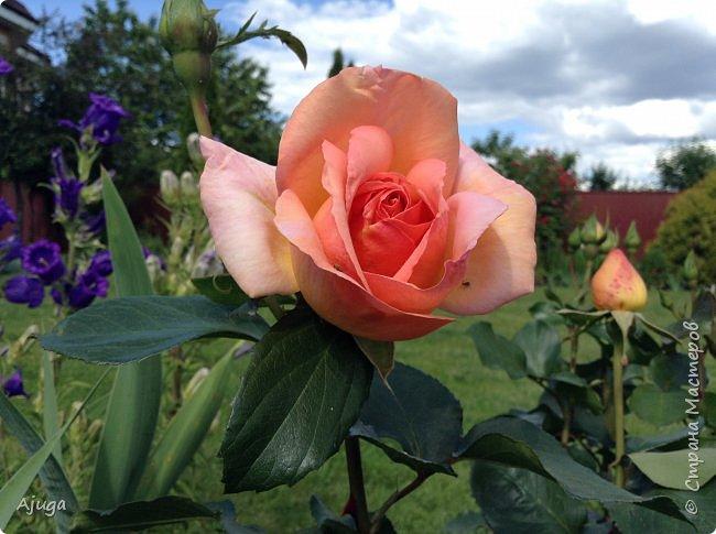 Начали цветение розы. фото 4