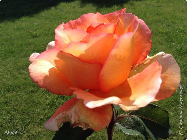 Начали цветение розы. фото 5