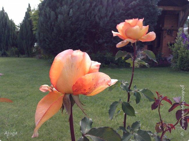 Начали цветение розы. фото 6