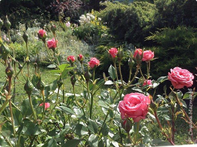 Начали цветение розы. фото 7