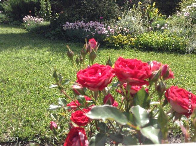 Начали цветение розы. фото 8