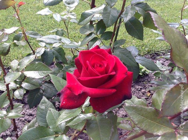 Начали цветение розы. фото 9