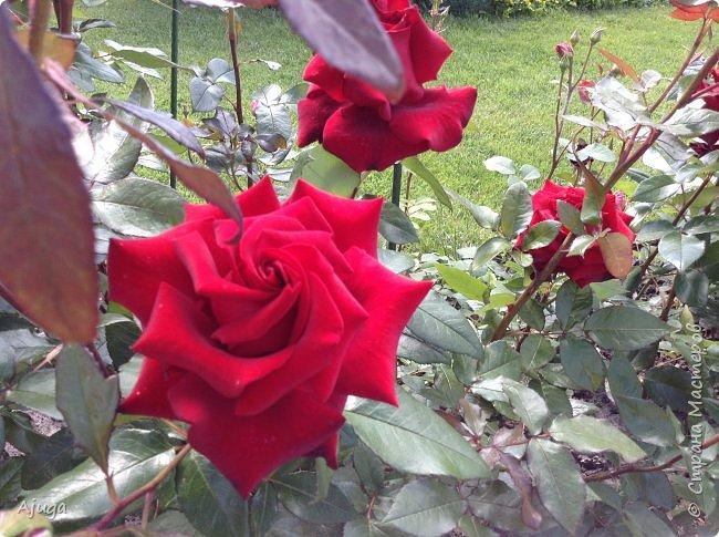 Начали цветение розы. фото 10