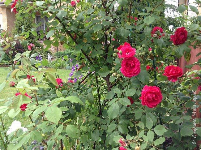 Начали цветение розы. фото 11