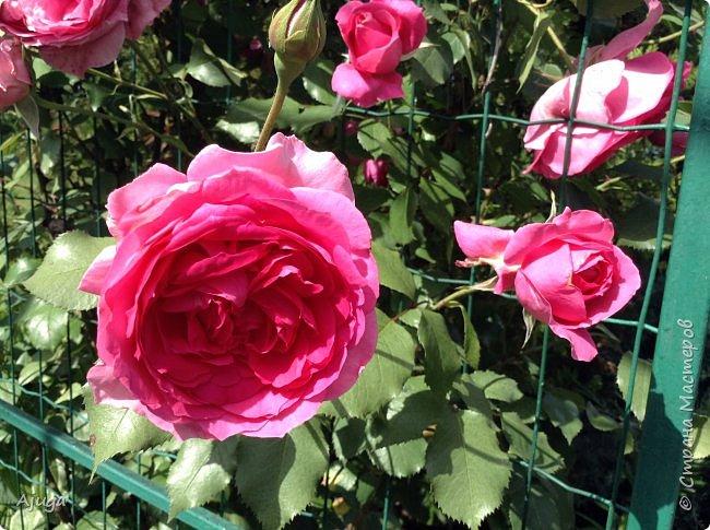 Начали цветение розы. фото 13
