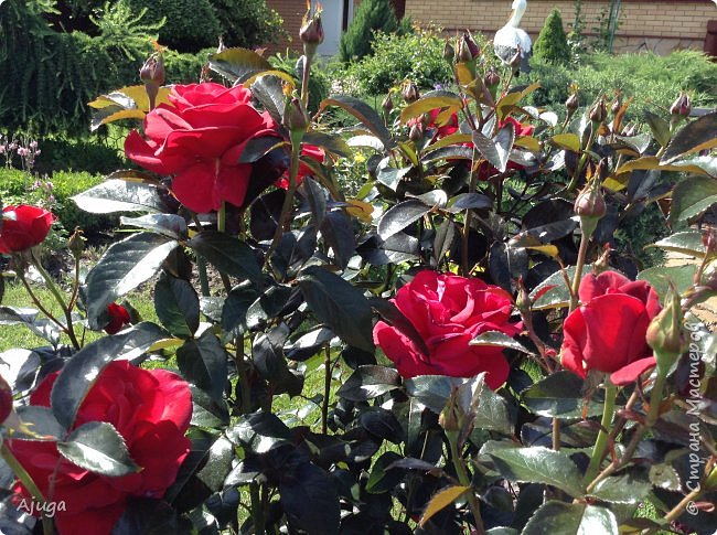 Начали цветение розы. фото 14