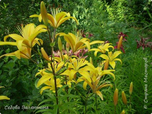 Мой любимый сад. Очень люблю цветы. Пытаюсь выращивать лилии. Их у меня не очень много, но когда они цветут, то очень радуют меня. фото 5