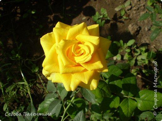 Мой любимый сад. Очень люблю цветы. Пытаюсь выращивать лилии. Их у меня не очень много, но когда они цветут, то очень радуют меня. фото 9