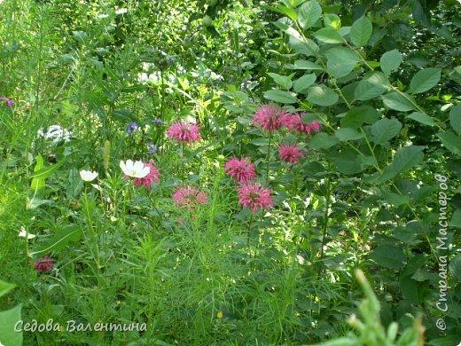 Мой любимый сад. Очень люблю цветы. Пытаюсь выращивать лилии. Их у меня не очень много, но когда они цветут, то очень радуют меня. фото 11