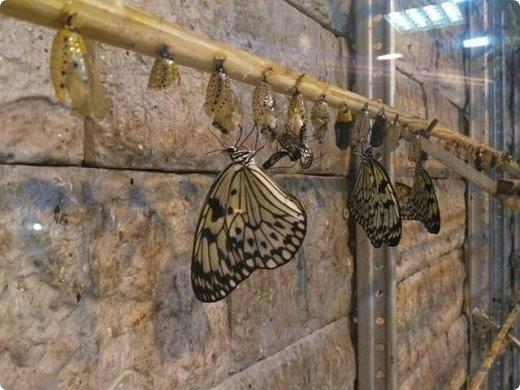Есть в Санкт-Петербурге сады Миндо – маленькие островки счастья, где рождаются и живут тропические бабочки. Мне посчастливилось бывать несколько раз в этих экзотических местах. Представляю наиболее удачные фотографии виденных бабочек. фото 11