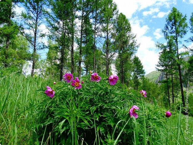 Это Иоанн Кронштадтский, святой праведник, сказал, что цветы – остатки рая на земле. И разве нельзя назвать райским местом этот родник в Бешпельтирском логу? У нас, в Горном Алтае, такая красота повсюду. И я приглашаю вас на неспешную прогулку по цветущему Алтаю. фото 58