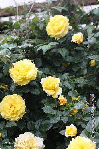 Добрый день. Обещала я выкладывать фото своего сада по сезонам - выкладываю. Сейчас у нас (вроде бы по календарю) лето!!!  Так как цветов у меня много разных, решила выкладывать фото по видам. Сегодня - королева сада РОЗА!!!! фото 15
