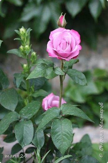 Добрый день. Обещала я выкладывать фото своего сада по сезонам - выкладываю. Сейчас у нас (вроде бы по календарю) лето!!!  Так как цветов у меня много разных, решила выкладывать фото по видам. Сегодня - королева сада РОЗА!!!! фото 16