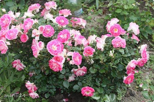 Добрый день. Обещала я выкладывать фото своего сада по сезонам - выкладываю. Сейчас у нас (вроде бы по календарю) лето!!!  Так как цветов у меня много разных, решила выкладывать фото по видам. Сегодня - королева сада РОЗА!!!! фото 18