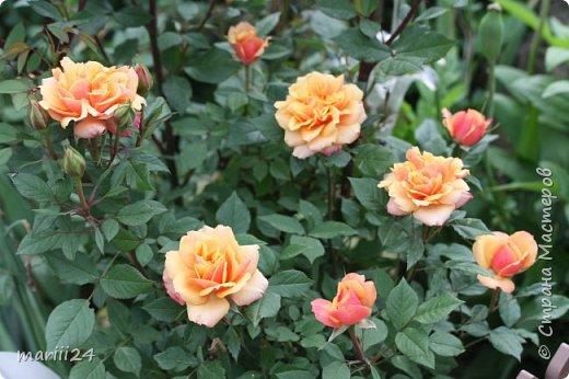 Добрый день. Обещала я выкладывать фото своего сада по сезонам - выкладываю. Сейчас у нас (вроде бы по календарю) лето!!!  Так как цветов у меня много разных, решила выкладывать фото по видам. Сегодня - королева сада РОЗА!!!! фото 19