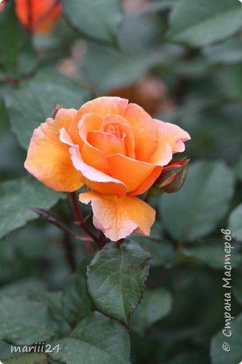 Добрый день. Обещала я выкладывать фото своего сада по сезонам - выкладываю. Сейчас у нас (вроде бы по календарю) лето!!!  Так как цветов у меня много разных, решила выкладывать фото по видам. Сегодня - королева сада РОЗА!!!! фото 21