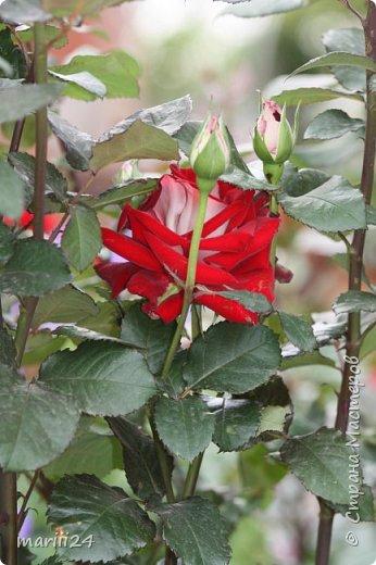 Добрый день. Обещала я выкладывать фото своего сада по сезонам - выкладываю. Сейчас у нас (вроде бы по календарю) лето!!!  Так как цветов у меня много разных, решила выкладывать фото по видам. Сегодня - королева сада РОЗА!!!! фото 26