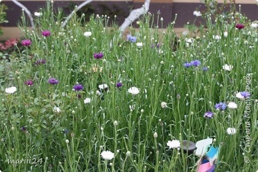 Добрый день. Обещала я выкладывать фото своего сада по сезонам - выкладываю. Сейчас у нас (вроде бы по календарю) лето!!!  Так как цветов у меня много разных, решила выкладывать фото по видам. Сегодня - королева сада РОЗА!!!! фото 30